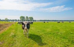 Коровы пася в зеленом луге в лете Стоковое Фото
