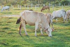 Коровы пася в зеленом луге Стоковые Изображения
