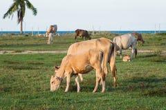 Коровы пася в зеленом луге Стоковые Фото