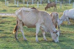 Коровы пася в зеленом луге Стоковая Фотография RF