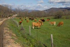 Коровы пася в зеленом лужке Стоковое Фото