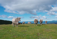Коровы пася в зеленых лугах Стоковые Изображения