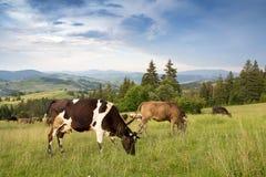 Коровы пася в злаковике в горной области Стоковое Фото