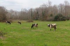 Коровы пася в злаковике Стоковая Фотография