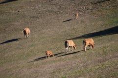 Коровы пася в лугах гор Галиции Природа животных перемещения Стоковое Изображение