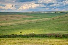 Коровы пася в луге около Seaford в u K Стоковая Фотография RF
