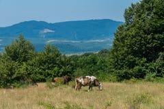 Коровы пася в луге в середине прикарпатского леса Стоковые Фото