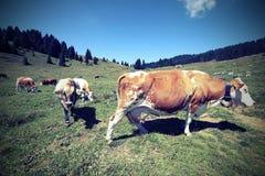 коровы пася в луге с винтажным влиянием Стоковые Фото