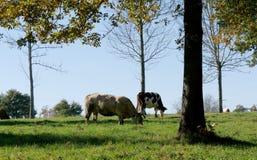 Коровы пася в луге с деревьями Стоковые Фотографии RF
