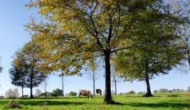 Коровы пася в луге с деревьями Стоковая Фотография RF