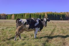 Коровы пася в луге Стоковые Изображения