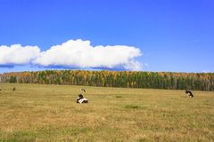 Коровы пася в луге Стоковые Фото