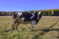 Коровы пася в луге Стоковое Фото