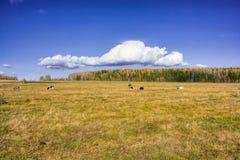 Коровы пася в луге Стоковая Фотография RF