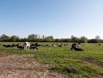 Коровы пася в надоенной женщине поля и жуя класть вниз Стоковое Изображение