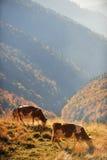 Коровы пася в пейзаже осени Стоковые Изображения