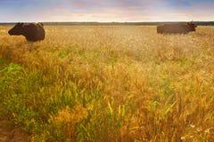 Коровы пася в поле на заходе солнца Стоковая Фотография RF