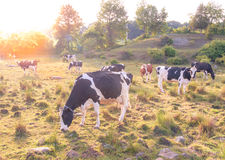 Коровы пася в поле на после полудня поздним летом при солнце испуская лучи через предпосылку Стоковые Изображения RF