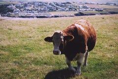 Коровы пася в поле около фильтра Polzeath винтажного ретро Стоковая Фотография