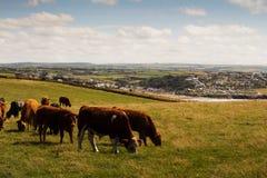 Коровы пася в поле около Polzeath Стоковая Фотография RF