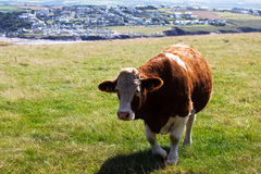 Коровы пася в поле около Polzeath Стоковое фото RF