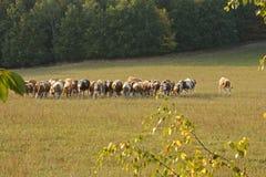 Коровы пася в поле сельской местности Стоковые Фото