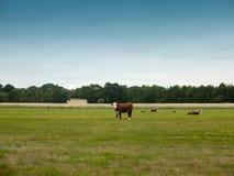 Коровы пася в поле фермы страны Стоковые Изображения