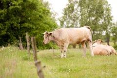 Коровы пася в поле Стоковое фото RF