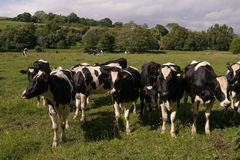 Коровы пася в поле Стоковые Фото