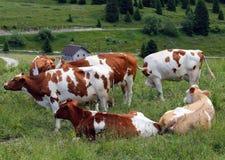 коровы пася в луге в горах Стоковая Фотография RF