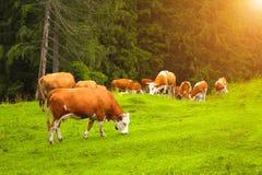 Коровы пася в луге горы, Карпатах, Румынии Стоковое фото RF