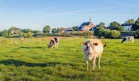 Коровы пася в луге на голландском dike в летнем времени Стоковое фото RF