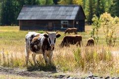 Коровы пася в луге рядом с зданием Стоковые Изображения RF