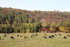 Коровы пася в луге Стоковые Изображения RF