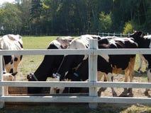 Коровы пася в paddock на выгоне Стоковые Фотографии RF
