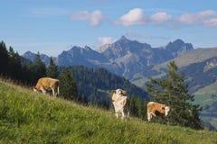 коровы пася горы Стоковые Изображения