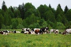 коровы пася зеленое лето лужка Стоковые Фотографии RF