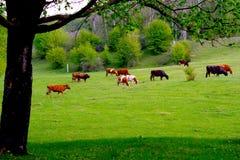 коровы пася зеленый выгон Стоковое фото RF