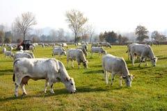 коровы пася Италию Стоковая Фотография