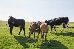 Коровы пася луг горы Стоковое Изображение