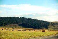 коровы пася лужок ландшафта Стоковое фото RF