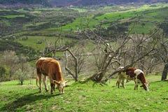 коровы пася лужок Стоковые Изображения