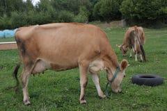Коровы пася на выгоне лета Стоковая Фотография RF