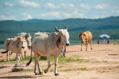 Коровы пася на выгоне с фоном запруды Стоковое Фото