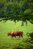 Коровы пася на выгоне Стоковая Фотография
