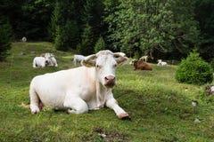 Коровы пася на высокогорном луге, Словении Стоковая Фотография