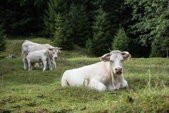 Коровы пася на высокогорном луге, Словении Стоковые Изображения