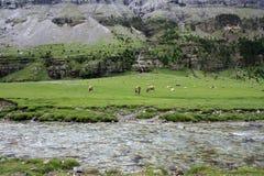 Коровы пася на высокогорном луге Стоковые Изображения