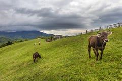 Коровы пася на высокогорном луге Стоковая Фотография