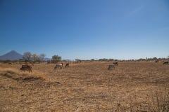 Коровы пася на высушенном поле Стоковое Фото